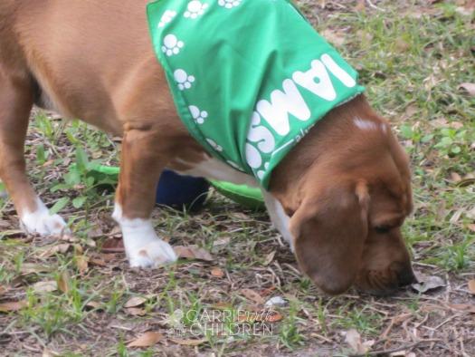 Penny the Pup IAMS Bandana