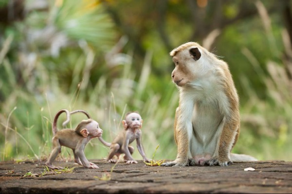 Monkey Kingdom with babies