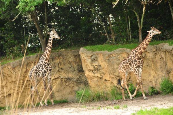 Wild Africa Trek Giraffes Resized